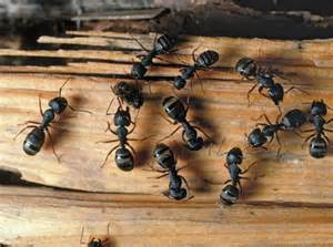 carpenter ants 1