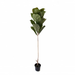 NWTURF SINGLE STEM FIDDLE LEAF FIG TREE 1.6M