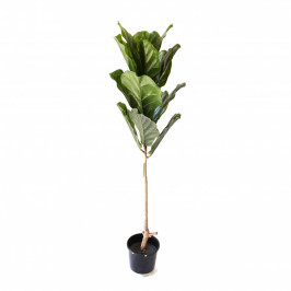 NWTURF SINGLE STEM FIDDLE LEAF FIG TREE 1.2M